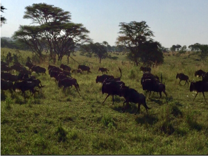 wildebeests at Serengeti
